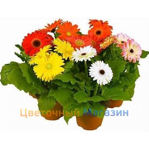 to buy indoor flower gerbera in a pot in flower online shop flower shop delivery beautiful. Black Bedroom Furniture Sets. Home Design Ideas